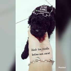 anjing black toy poodle jefra petshop