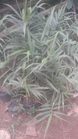 Jual bibit pohon jahe merah perpolibak plastik