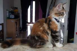 Mainecoon betina calico kitten pure