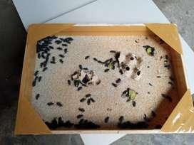 Jual kumbang ulat jerman siap bertelur