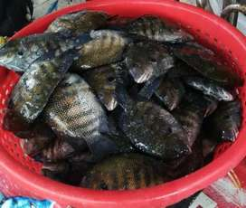 Karimeen fish