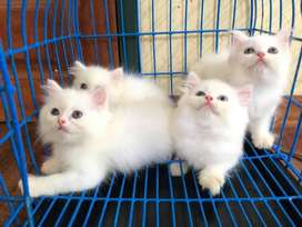 potty trend persian kitten sale cash on delivery