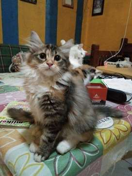 Lepas Adopsi Kucing Persia Medium Umur 3 Bulan