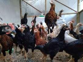 Ayam Kampung Joper Buah Batu - Area Bandung Kota