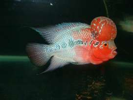 Show Quality AAA Grade Imported Flowerhorns for Sale at Best price