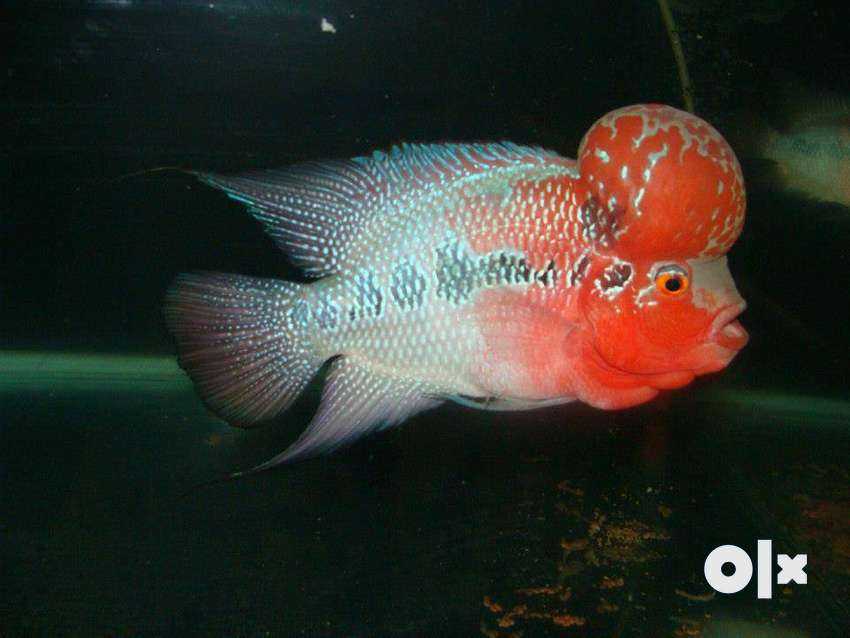 Show Quality AAA Grade Imported Flowerhorns for Sale at Best price 0