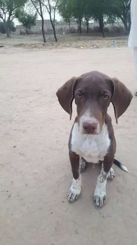 Pointer 3 Month Old , Half Traned