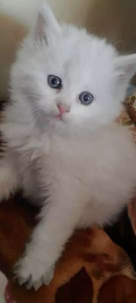 punched face blue eyes milk white   persian cat