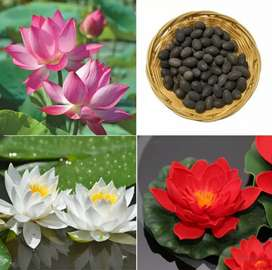 Lotus Flower Seeds