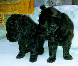 pedigree microchip french poodle pups
