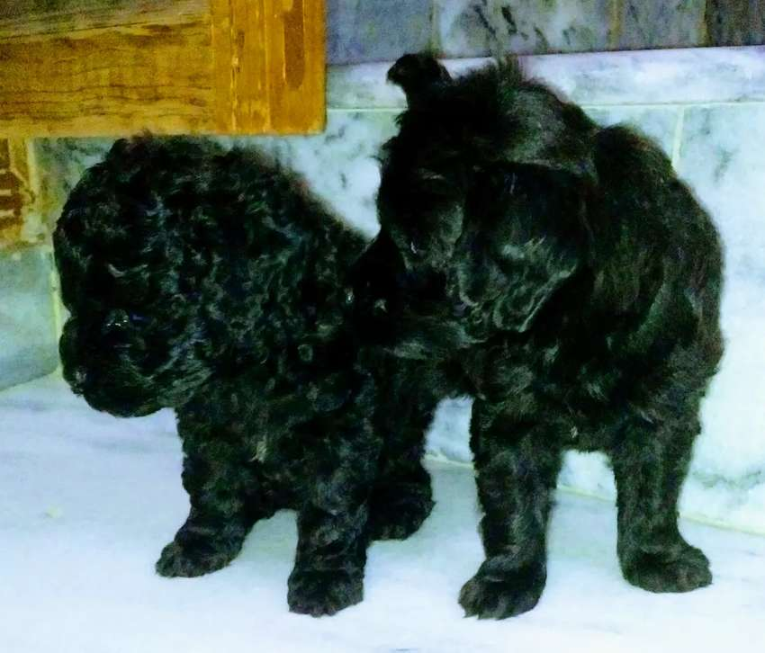 pedigree microchip french poodle pups 0
