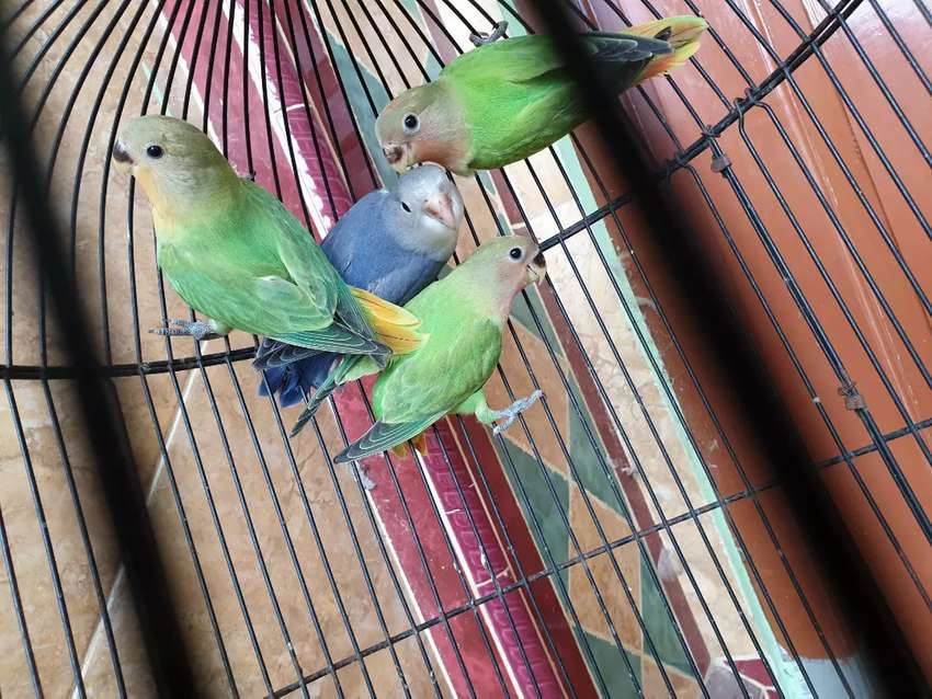 Lovebird non klep 0