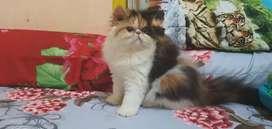 Kucing Persia Peaknose Longhair anakan Ped 4,5 bulan