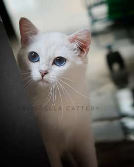 Kucing british shorthair betina silver shaded point