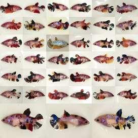 Betina Ikan Cupang Siap Breed usia 5-6,5 bln