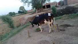 2nd timer cow