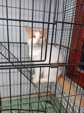 Kucing anggora dan persia sepasang
