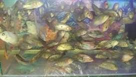 Ikan lohan golden base