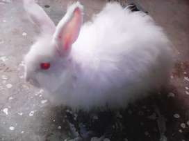 Angora rabbit male