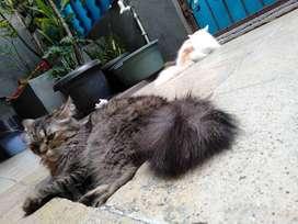 Dijual kucing Persia dan Anggora