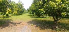 Agriculture land  with Mango farm EB with Bore shed