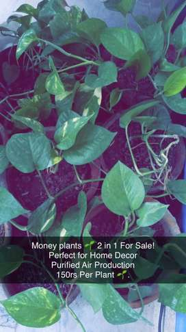 Money plants