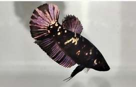Ikan cupang avatar copper gold semi glitter
