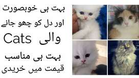 Cats For sell Imported  blue eyes cats and smoke grey eyes cat