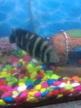 Buttikoferi fish available at reasonable price
