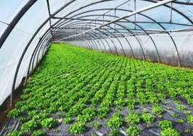 Plastik UV Anti Radiasi Matahari Dalam Greenhouse