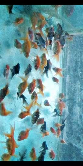 Goldfish varieties available