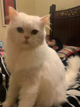1 year old Blue Eyes white Persian Male