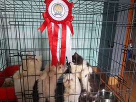 Persian cat good quality starting price 8000