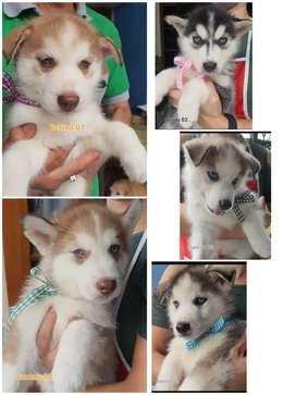 Anjing Husky Puppy Sehat, HQ, Micro chip, Vaksin, Surat, Lengkap