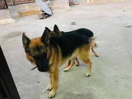 Healthy dogs for sell