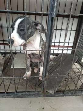 Pit bull female pup for sale