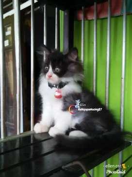 Kitten persia jantan usia 3 bln,  warna bagus