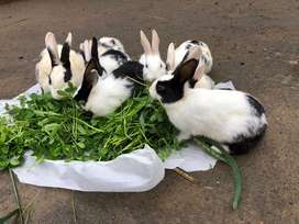 Native rabbits farming jhelum