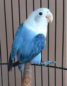 Lovebird Biola blue possible split pf
