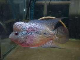 ikan louhan kenong(kepala nongol)