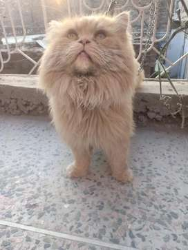 Persian male cat punch face