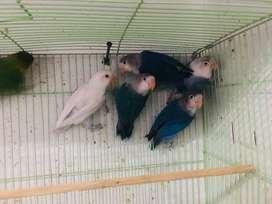 Lovebird 9 ekor (Borongan) warna campur.