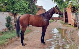 Imported Infoal Thoroughbred Colt 3 Year Old