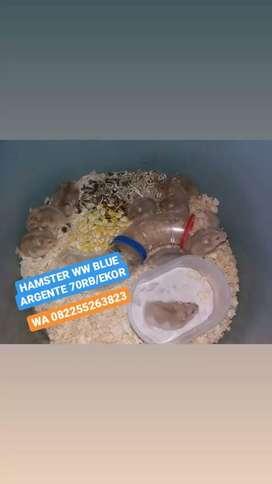 Hamster winter white golden lucu