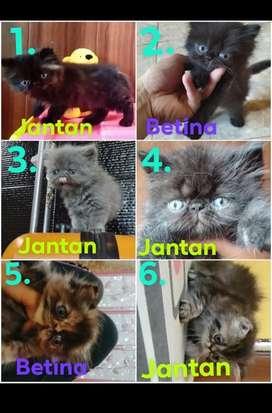 Kucing Kitten peaknose calico