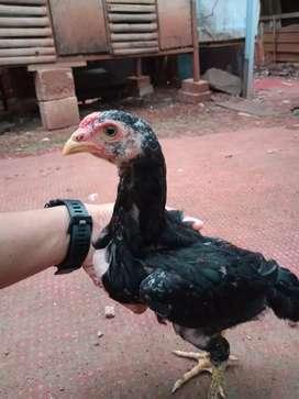 Anak ayam bangkok