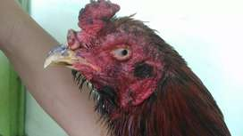 Ayam Bangkok Trah Shamo Brazil Thai x Aseel Pukul Kapak