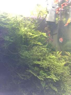 Christmas Moss and Subwassertank pelia home grown