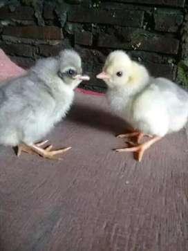 Ayam Kanuragan Batu lapak Brewok Jambul