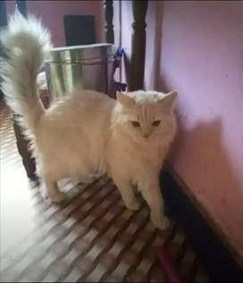 persian cat matting white male